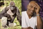 Mike Tyson Tried Bribing $10,000 For A Fight With Gorilla & We Don't Know What To Make Of It
