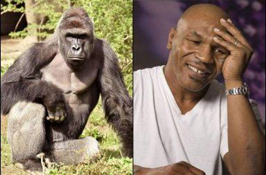 Mike Tyson, Mike Tyson Gorilla, Mike Tyson pets, Mike Tyson tiger, Mike Tyson pigeon, Mike Tyson silverback gorilla, Mike Tyson funny, Mike Tyson Instagram