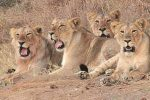 204. That's The Number Of Lions Who Died In Gujarat's Gir In The Last TwoYears