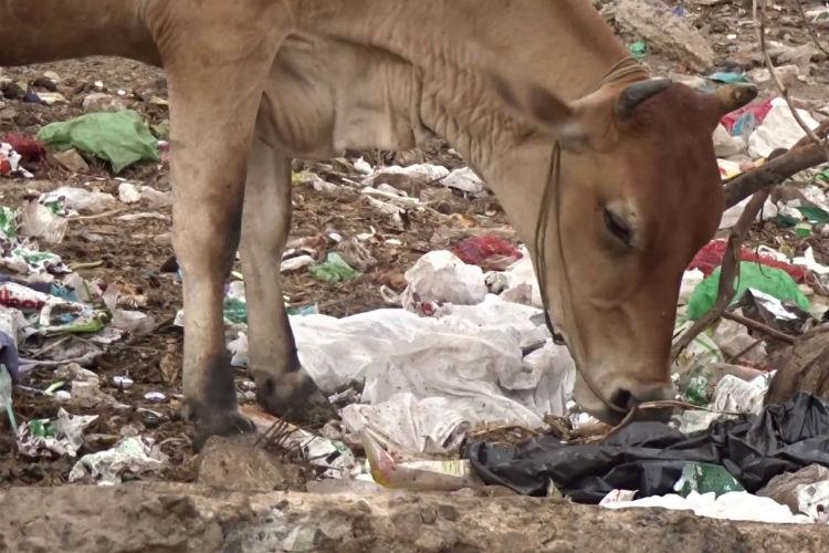 cow plastic