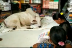 At An Andhra Shop, People Buy Clothes While Cow Sits Around &Chills